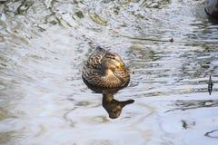 Close on a Mallard Duck Royalty Free Stock Photos