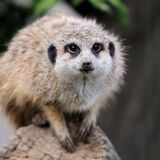 Close meerkat on branch. In nature Royalty Free Stock Photos