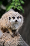 Close meerkat on branch. In nature Stock Photography