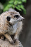 Close meerkat on branch. In nature Stock Photos