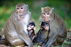 Close Monkey Family Stock Images