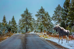 Close moose stands near a road Royalty Free Stock Image