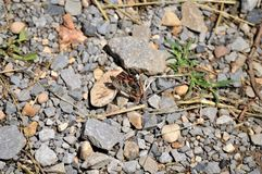 Close Multicolored Butterfly with Wings Open. Closeup of an orange, black, and brown multicolor butterfly with wings open perched on a rock on some gravel stock photos