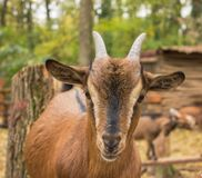 Close muzzle of a young brown goat stands on a wooden fence... Royalty Free Stock Image