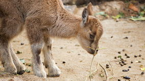 Close of one little cute mountain newborn goat goatling eating chewing twig sprig.  stock video