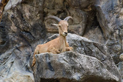 Close one's eyes Goat on the stone in Chiangmai Zoo , Thailand Stock Photos
