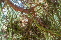 Close op of the branches of a tree with leaves and dry branches stock image