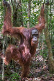 Close orangutan Pongo stands on dry leaves among the thin trees Stock Images