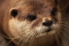 Close Otter Portrait. A portrait of an African Clawless Otter, an endangered species Stock Photo