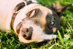 Close Pets Bull Terrier Dog Portrait In Green Grass Royalty Free Stock Photos