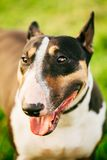 Close Pets Bull Terrier Dog Portrait At Green Stock Photo