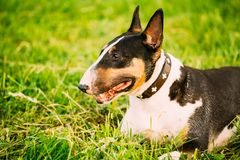 Close Pets Bull Terrier Dog Portrait At Green Stock Images