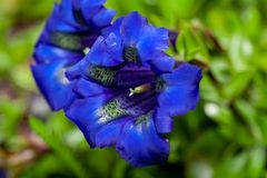 Close photo of bright blue flowers of stemless gentian. Gentiana acaulis. Macrophotography stock photo