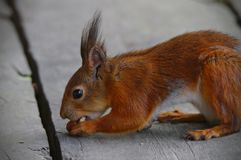 Squirrel and the nuts. Close photo of a hungry squirrel trying to get two nuts at same time stock photo