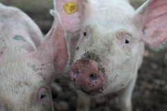 Close Photo of Pig Royalty Free Stock Photography
