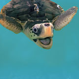 Close photo of smiling sea turtle in water. Olive green turtle swimming in pool. Turtle protection sanctuary. Green tortoise with open mouth. Square image of Royalty Free Stock Photography