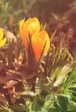 Yellow crocuses in warm colors. Close photo of some blooming yellow crocuses in warm colors Stock Image