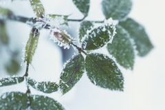 A twig with green leaves covered with hoarfrost and snow crysta. Close photo of a twig with green leaves covered with hoarfrost and snow crystals Royalty Free Stock Photography