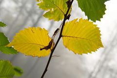 Leaves of hazel tree. Close photo of yellow leaves of hazel tree on misty autumn day stock photography