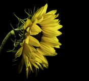Close Photo of Yellow Sunflower on Black Background Royalty Free Stock Photography