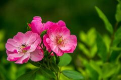 Close Photography of 3 Pink and White Flower Stock Image