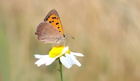 Close Photography of Orange and Brown Butterfly on White Daisy during Daytime Royalty Free Stock Photo