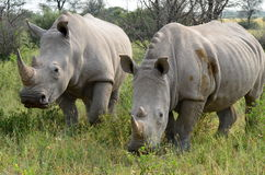 White rhino,Botswana Royalty Free Stock Photo