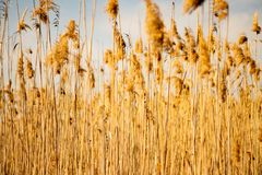Close plan of yellow autumn wheat field in Bulgaria royalty free stock photography