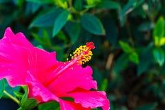Close pollen pink hibiscus. Stock Photo