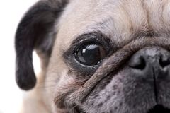 Close portrait of an adorable Mops or Pug Royalty Free Stock Images