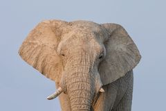 African Elephant. A close portrait of an African elephant`s face Stock Photography