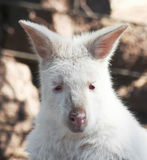 A Close Portrait of an Albino Wallaby Stock Image