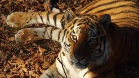 Close portrait of amur tiger lying on dried leaves. Primorsky Safari park,Russia. Close portrait of beautiful amur tiger lying on dried leaves. Primorsky Safari stock video