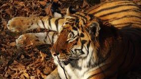Close portrait of amur tiger lying on dried leaves. Primorsky Safari park,Russia. Close portrait of beautiful amur tiger lying on dried leaves. Primorsky Safari stock footage