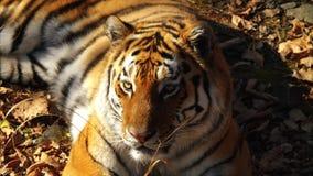 Close portrait of amur tiger lying on dried leaves. Primorsky Safari park,Russia. Close portrait of beautiful ussuri tiger lying on dried leaves. Primorsky stock video footage