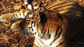 Close portrait of amur tiger lying on dried leaves. Primorsky Safari park,Russia. Close portrait of great amur or ussuri tiger lying on dried leaves. Primorsky stock video footage