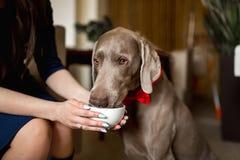 Portrait Beautiful elegant girl with dog Weimaraner stock image
