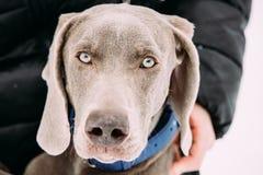 Close Portrait Of Beautiful Weimaraner Dog. The Weimaraner Is An Stock Photo