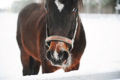 Close portrait of a brown horse on a background of a winter monochrome landscape Stock Photo