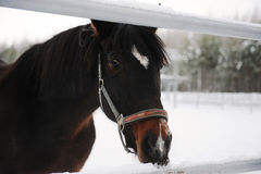 Close portrait of a brown horse on a background of a winter monochrome landscape Stock Images