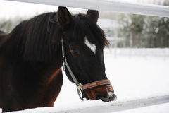 Close portrait of a brown horse on a background of a winter monochrome landscape Stock Photos