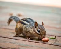 Close Portrait of a Chipmunk Sniffing a Nut stock image