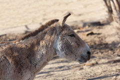 Close portrait of a donkey Royalty Free Stock Photo
