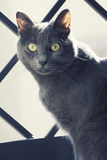 Close portrait of a female blue russian / carthusian cat. A close-up portrait of a young blue russian / carthusian cat with yellow eyes.  Grey coat Stock Images