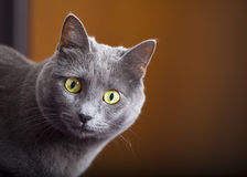 Close portrait of a female blue russian / carthusian cat. A close-up portrait of a young blue russian / carthusian cat with yellow eyes. Grey coat. Orange Royalty Free Stock Photo