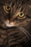 Close portrait of a female tabby cat big yellow eyes. A very close portrait of a young tabby cat with yellow eyes. Brindle coat royalty free stock photos