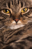 Close portrait of a female tabby cat. A very close portrait of a young tabby cat with yellow eyes.  Brindle coat Royalty Free Stock Photos
