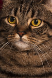 Close portrait of a female tabby cat big yellow eyes. A very close portrait of a young tabby cat with yellow eyes. Brindle coat stock photo