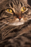 Close portrait of a female tabby cat big yellow eyes. A very close portrait of a young tabby cat with yellow eyes.  Brindle coat Royalty Free Stock Image