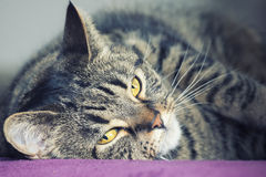 Close portrait of a female tabby cat lying. A very close portrait of a young tabby cat with yellow eyes. Lying on a purple surface. Brindle coat Royalty Free Stock Photography